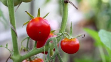 Red tomato in hothouse — Stock Video