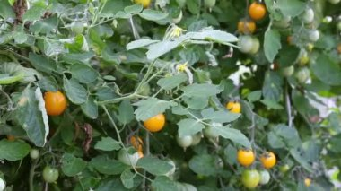 Yellow tomato in hothouse — Stock Video