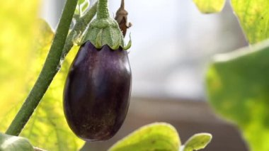 Eggplant in hothouse — Stock Video