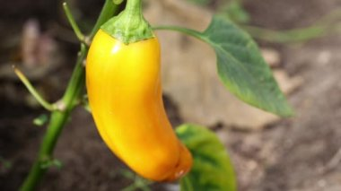 Yellow pepper in hothouse — Stock Video