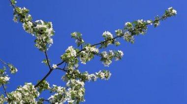 Manzano con flor blanca — Video Stock