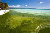 Seaweed in turquoise sea, water plant on Boracay island — Stock Photo