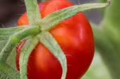 Red tomato in hothouse — Photo