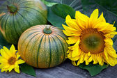 Freshly picked pumpkins with sun flower — Stock Photo