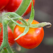 Red tomato in hothouse — Stock Photo