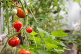 Tomates rouges en serre — Photo