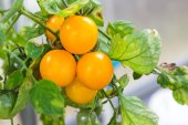Yellow cherry  at hothouse — Stock Photo