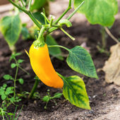 Yellow pepper in hothouse — Stock Photo