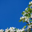 A blooming branch of apple tree on sky background — Stock Photo #67391951