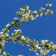 A blooming branch of apple tree on sky background — Stock Photo #67391967