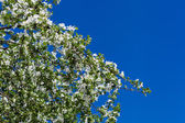 A blooming branch of apple tree on sky background — Stock Photo