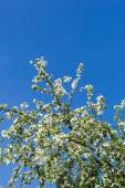 A blooming branch of apple tree on sky background — 图库照片