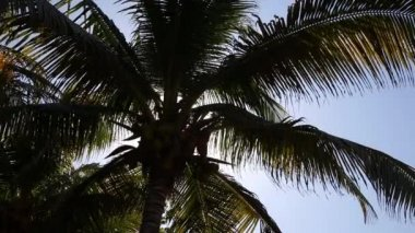 Top of coconut palm tree on  sky background — Stock Video