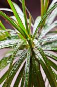 Dracena marginata with water drops  — Stock Photo