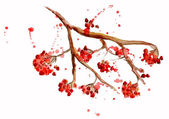 Rowan berry branch — Stock Photo