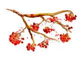 Rowan berry branch — Stock Vector