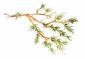 Pine branch. — Vecteur