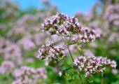 Origanum vulgare herbs — Stock Photo