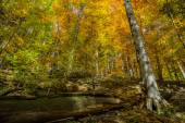 Beech forest in autumn — Stock Photo