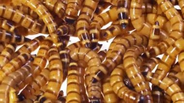 Zophobas morio (worms) close up background — Stock Video