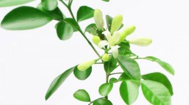 Murraya paniculata (Orange Jasmine) flowers blossom, time lapse — Stock Video
