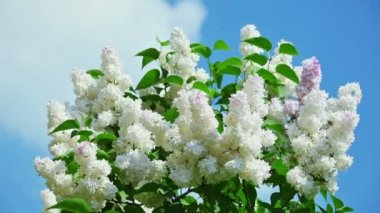 White lilac flower inflorescence in sunny spring day — Stock Video