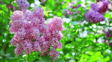 Pink lilac flower inflorescence — Stock Video