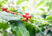 Kaffee-baum — Stockfoto