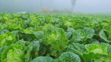 Green lettuce salad crop produce — Stock Video