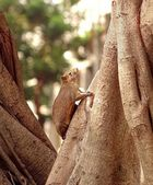 Large Brown Tree Squirrel — ストック写真