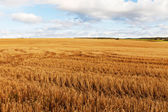 Field after harvest. — Stock Photo