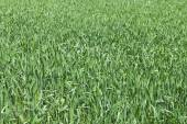 Green field. — Stock Photo