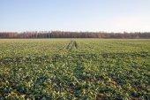 Canola field in early winter. — Stock Photo