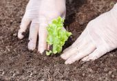 Planting salad in ground. — Stock Photo