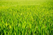 Green wheat. — Stock Photo