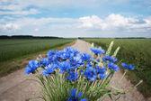 Cornflowers. — Stock Photo