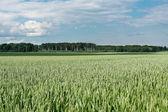 Green wheat field. — Stock Photo