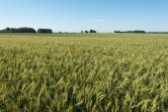 Green cornfield. — Stock Photo