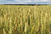 Summer on wheat field. — Stock Photo