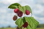 Growing raspberries. — Stock Photo