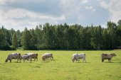 Cows in meadow. — Stock Photo