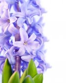 Violet flower hyacinth isolated — Stock Photo