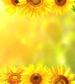 Frame with bright yellow sunflowers — Stock Photo