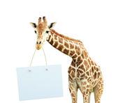 Giraffe with signboard — Stock Photo