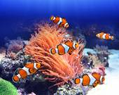 Sea anemone and clown fish — Stock Photo