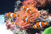 Sea anemone and clown fish — Stock Photo