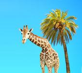 Coconut palm and giraffe — Stock Photo