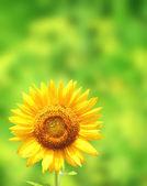Sunflower on green background — Stock Photo