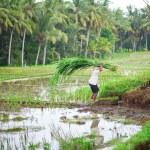 Man working on rice field near Ubud — Stock Photo #52366687