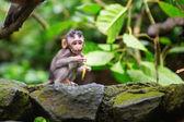 Little baby-monkey in sacred monkey forest of Ubud — Stock Photo